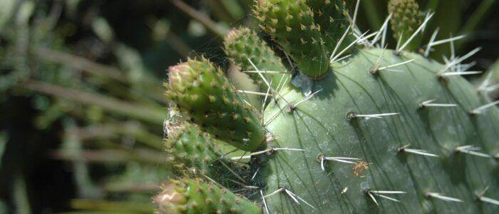 Esta compañía mexicana está haciendo biocombustible a partir de cactus